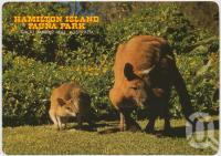 "<span class=""caption-caption"">Antilopine Wallaroo and Agile Wallaby, Hamilton Island Fauna Park</span>, c1970-2000. <br />Postcard, collection of <span class=""caption-contributor"">Murray Views Collection</span>."