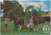 "<span class=""caption-caption"">The Palms Horse Stud Farm 10 km from Surfers Paradise at Nerang,  Prince Timothy - Fallabella Stallion and Jazz - Clydesdale Stallion Summing up the situation!</span>, c1970-2000. <br />Postcard, collection of <span class=""caption-contributor"">Murray Views Collection</span>."