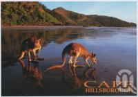 "<span class=""caption-caption"">Kangaroo on the beach at Cape Hillsborough</span>, c1970-2000. <br />Postcard, collection of <span class=""caption-contributor"">Murray Views Collection</span>."