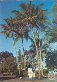 "<span class=""caption-caption"">Coconut Palms, Steen Avenue, Buscasia</span>, c1970-2000. <br />Postcard, collection of <span class=""caption-contributor"">Murray Views Collection</span>."