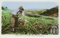 """<span class=""""caption-caption"""">Pineapple picking, Gympie district</span>, 1960. <br />Postcard by <span class=""""caption-publisher"""">Murray Views Pty Ltd</span>, collection of <span class=""""caption-contributor"""">Centre for the Government of Queensland</span>."""